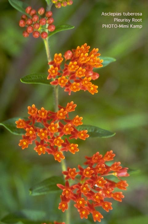 butterfly weed, Beautiful flower