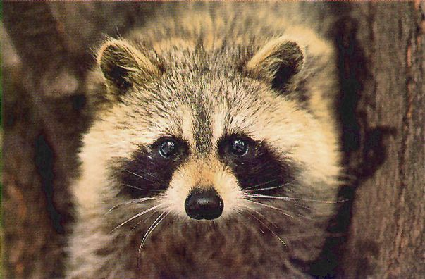 Racoon Raccoon Face